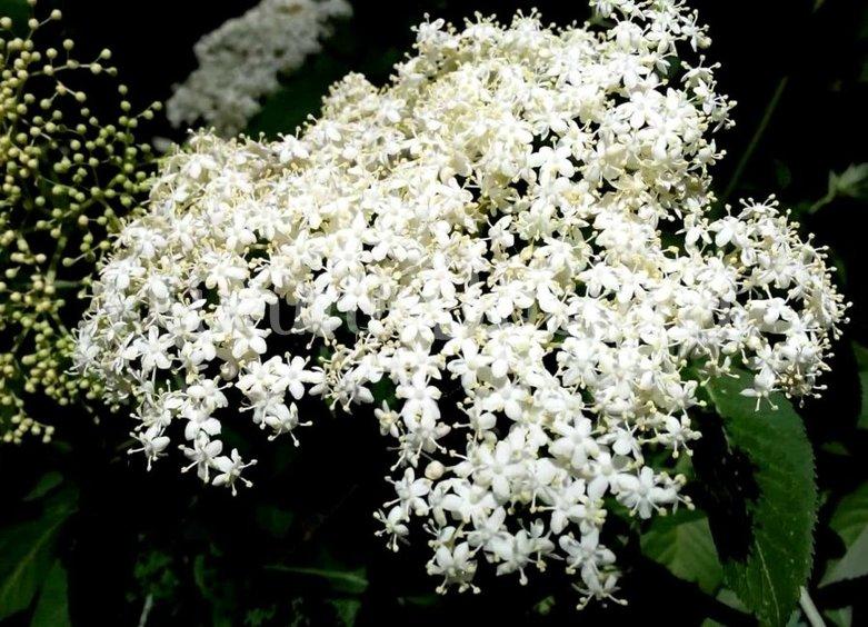Ликёр из цветков бузины - шаг 1