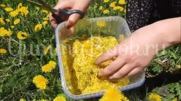 Варенье из одуванчиков (одуванчиковый мёд) - шаг 2
