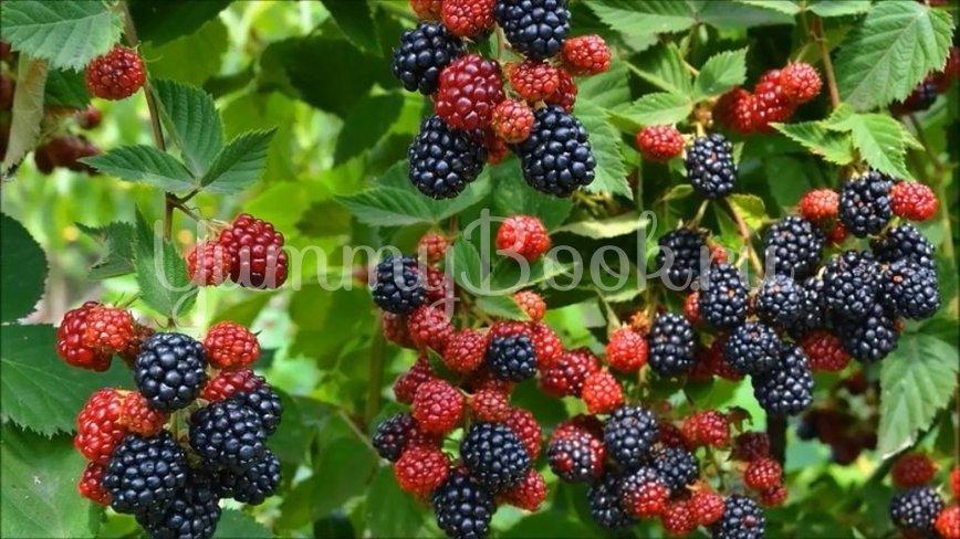 Желе из ежевики без варки ягод за 15 минут - шаг 1